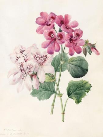 https://imgc.artprintimages.com/img/print/two-hybrid-peliagoniums-1828_u-l-puqbg50.jpg?p=0