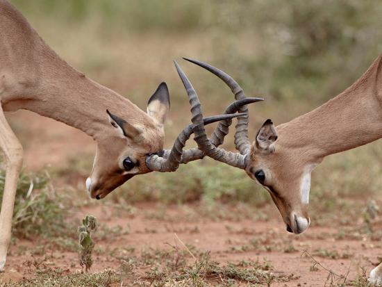 Two Impala (Aepyceros Melampus) Bucks Sparring, Imfolozi Game Reserve, South Africa, Africa-James Hager-Photographic Print