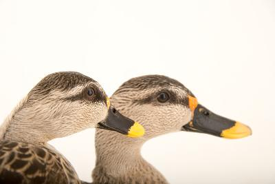 Two Indian Spot Billed Ducks, Anas Poecilorhyncha, at Sylvan Heights Bird Park-Joel Sartore-Photographic Print