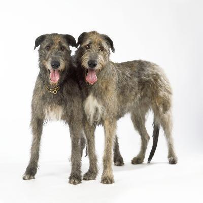 Two Irish Wolfhounds--Photographic Print