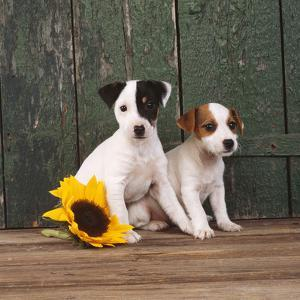 Two Jack Russell Terrier Puppies with Sunflower