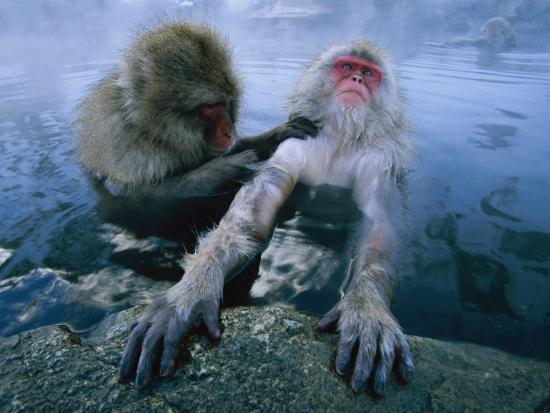 Two Japanese Macaques, or Snow Monkeys, Enjoy a Dip in a Hot Spring-Tim Laman-Photographic Print
