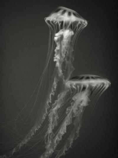 Two Jellyfish-Henry Horenstein-Photographic Print