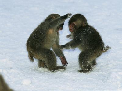 Two Juvenile Japanese Macaques, or Snow Monkeys, Play in the Snow-Tim Laman-Photographic Print