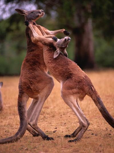 Two Kangaroos Spar with One Another-Medford Taylor-Photographic Print
