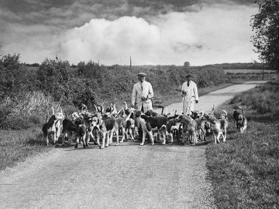 Two Kennel Workers Exercising Foxhounds on an English Country Lane--Photographic Print