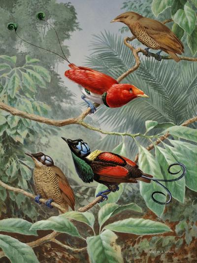 Two King Birds of Paradise Perch Above Two Wilson's Birds of Paradise-Walter Weber-Photographic Print