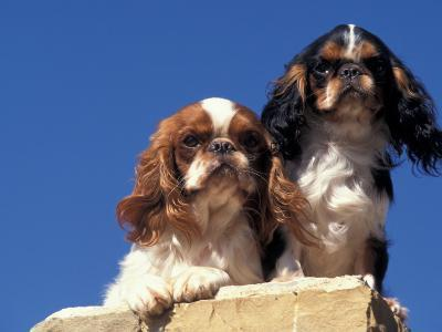 Two King Charles Cavalier Spaniel Adults on Wall-Adriano Bacchella-Photographic Print