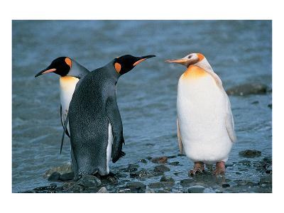 Two King Penguins And Albino--Art Print