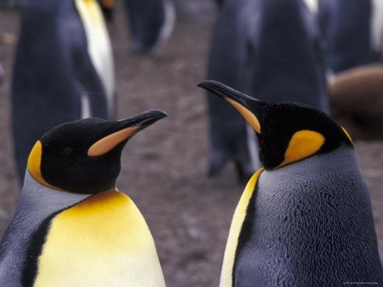Two King Penguins Face to Face, (Aptenodytes Patagoni) South Georgia-Lynn M^ Stone-Photographic Print