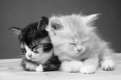 Two Kittens Asleep--Photographic Print