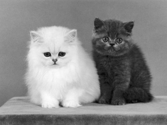 Two Kittens One a White Chinchilla the Other a British Shorthair Blue  Photographic Print by Thomas Fall | Art com