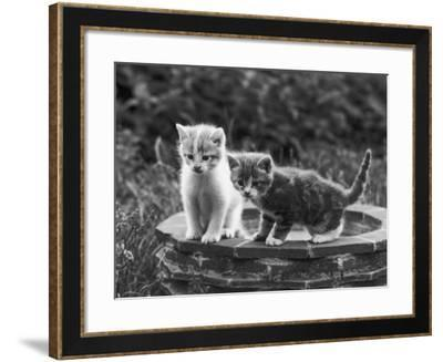 Two Kittens Stand in a Bird Bath Watching Something in the Grass-Thomas Fall-Framed Photographic Print