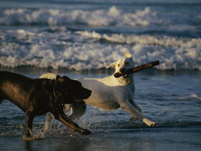 Two Labrador Retrievers Play with a Stick on a Beach-Roy Toft-Photographic Print