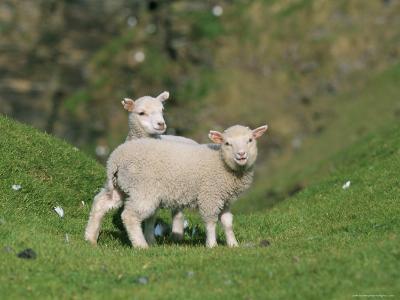 Two Lambs in June, Shetland Islands, Scotland, UK, Europe-David Tipling-Photographic Print