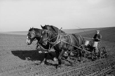 Two Large Work Horses Pull the Farmer and His Corn Seed Drill in Iowa, 1940s--Photo