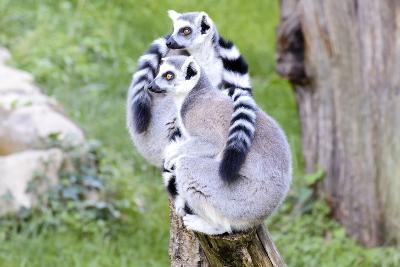 Two Lemurs Sitting on a Log-stefano pellicciari-Photographic Print