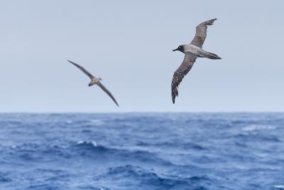 Two Light-Mantled Albatross in Flight in the South Shetland Islands, Antarctica-Ralph Lee Hopkins-Photographic Print