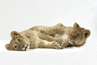 Two Lion Cubs (Approx 16 Weeks Old) Lying Together--Photographic Print