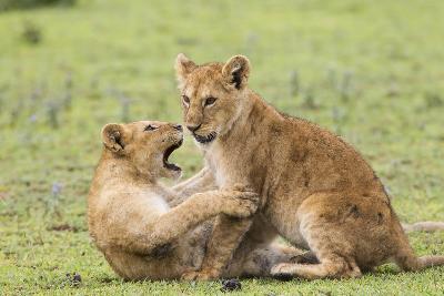 Two Lion Cubs Play, Ngorongoro, Tanzania-James Heupel-Photographic Print