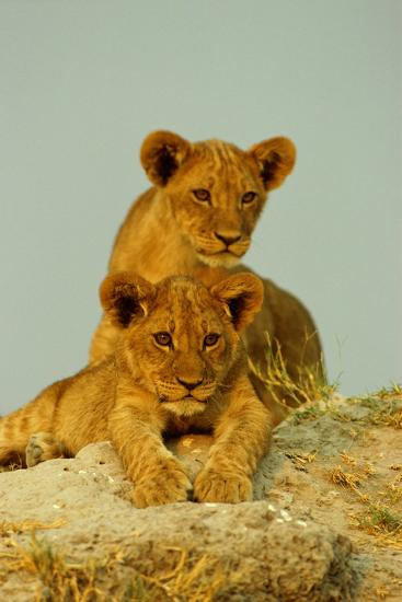 Two Lion Cubs, Resting But Alert-Beverly Joubert-Photographic Print