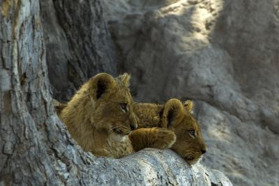 Two Lion Cubs Resting on Exposed Tree Roots-Beverly Joubert-Photographic Print