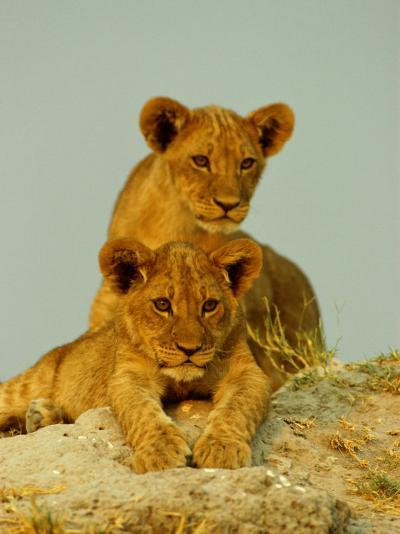 Two Lion Cubs Watch the Action from the Sidelines-Beverly Joubert-Photographic Print
