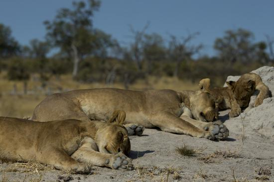 Two Lioness, Panthera Leo, Sleeping with Cub on a Termite Mound-Beverly Joubert-Photographic Print