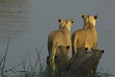 Two Lioness Preparing to Cross a Spillway as their Cubs Sit in the Reeds and Watch-Beverly Joubert-Photographic Print