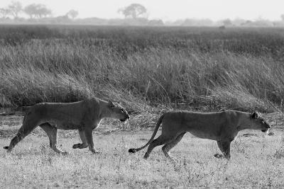Two Lioness Walking Near a Spillway-Beverly Joubert-Photographic Print