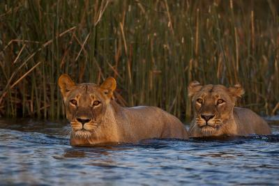 Two Lionesses Crossing a Spillway at Sunset-Beverly Joubert-Photographic Print