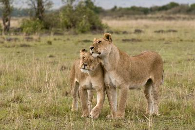 Two Lionesses, Panthera Leo, Greeting Each Other with Head Rubbing-Sergio Pitamitz-Photographic Print
