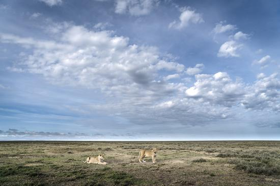 Two Lionesses, Panthera Leo, Resting on the Open Plains in Serengeti National Park-Chris Schmid-Photographic Print