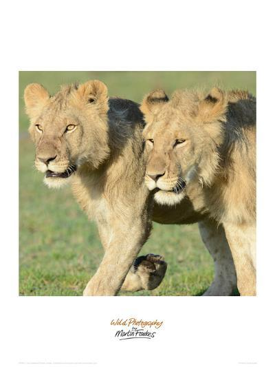 Two Lionesses-Martin Fowkes-Giclee Print