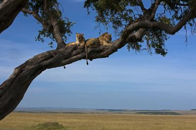 Two Lions Lying Next to Each Other in a Tree-Beverly Joubert-Photographic Print