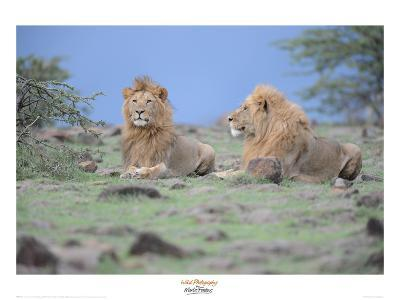 Two Lions Watching-Martin Fowkes-Giclee Print