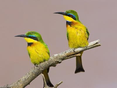 Two Little Bee-Eater Birds on Limb, Kenya-Joanne Williams-Photographic Print