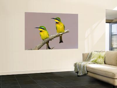 Two Little Bee-Eater Birds on Limb, Kenya-Joanne Williams-Wall Mural