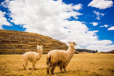 https://imgc.artprintimages.com/img/print/two-llamas-sacsayhuaman-ruins-cusco-peru-south-america_u-l-q12qqax0.jpg?p=0