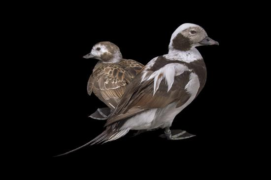 Two long tailed ducks or oldsquaws at Patuxent Wildlife Research Center.-Joel Sartore-Photographic Print