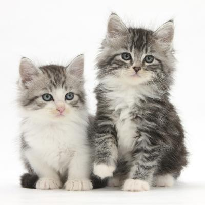 Two Maine Coon-Cross Kittens, 7 Weeks-Mark Taylor-Photographic Print
