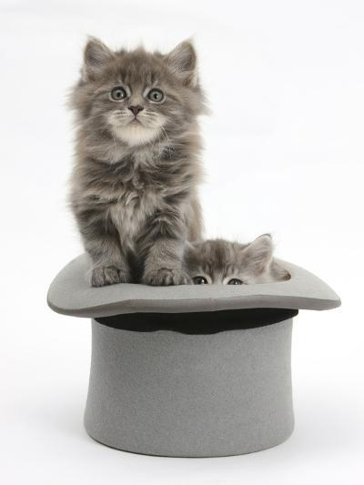 Two Maine Coon Kittens, 7 Weeks, in a Grey Top Hat-Mark Taylor-Photographic Print