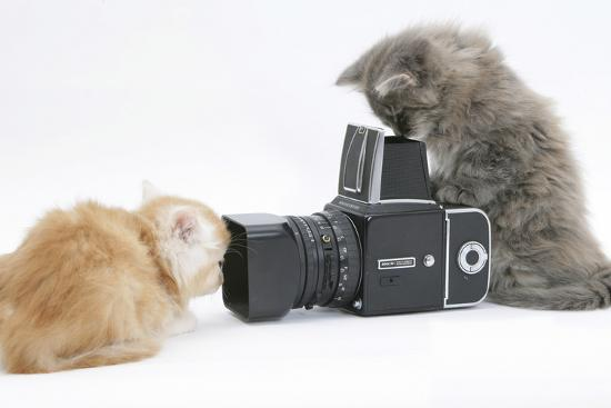 Two Maine Coon Kittens, 8 Weeks, Playing with a Hasselblad Camera-Mark Taylor-Photographic Print