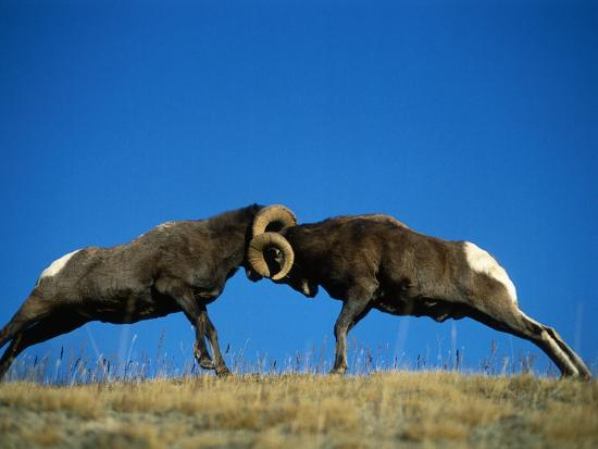 Two Male Bighorn Sheep Butt Heads in an Open Field-Jeff Foott-Photographic Print