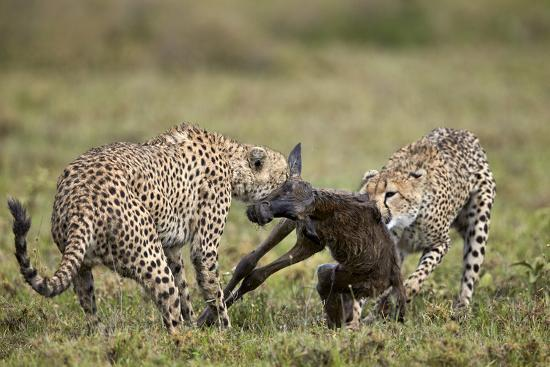Two Male Cheetah (Acinonyx Jubatus) Killing a New Born Blue Wildebeest (Brindled Gnu) Calf-James Hager-Photographic Print