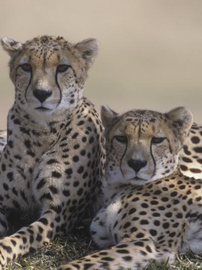 Two Male Cheetahs (Acinonyx Jubatus), Kenya, Africa-Tom Walker-Photographic Print