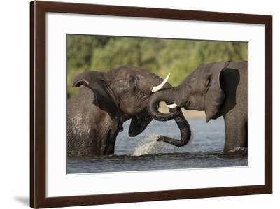 Two Male Elephants, Loxodonta African, Mock Fighting in the Water-Matthew Hood-Framed Photographic Print