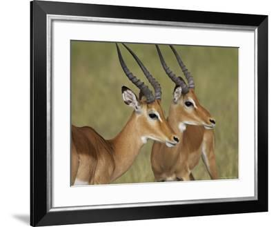 Two Male Impala with Bodies Facing Each Other, Serengeti National Park, East Africa-James Hager-Framed Photographic Print