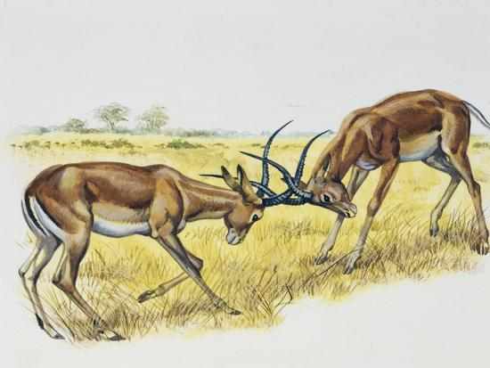 Two Male Impalas Fighting (Aepyceros Melampus), Bovidae, Drawing--Giclee Print