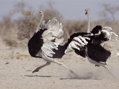 Two Male Ostriches Running During Dispute, Etosha National Park, Namibia-Tony Heald-Photographic Print